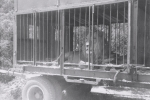 1955 Ringling Brothers. lion in his cage wagon.