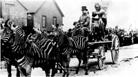 zebra hitch pulling the Little Red Riding Hood allegorical float on the old Barnum & Bailey Circus..jpg