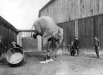 balancing elephant. early 1900's.jpg