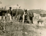 Bill-Woodcock's elephants on the Siebrand Bros. Circus....1952