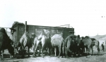Hagenbeck -Wallace camels.....1930's.JPG