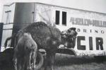 Kelly-Miller camels..1950's.JPG
