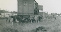 Zebras on the Cole Bros...jpg