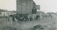 Zebras on the Cole Bros...jpg