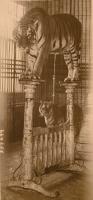 tigers...1920's.JPG